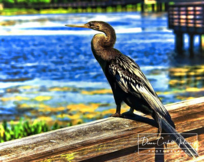 Anhinga, Delray Beach, FL, USA  - by Diann Corbett Johnson