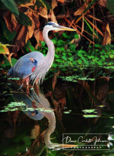 Blue Heron, West Palm Beach, FL, USA  - by Diann Corbett Johnson
