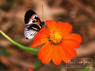 Butterfly on a Flower, Fort Lauderdale, FL, USA  - by Diann Corbett Johnson