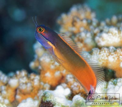 A Dart Fish on a Reef in Raja Ampat, Indonesia - by Diann Corbett Johnson