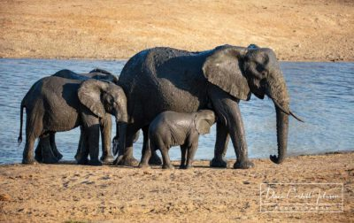 A family of elephants at their watering hole in Kruger National Park, South Africa - by Diann Corbett Johnson