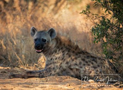 A Hyena Rests in Kruger National Park, South Africa - by Diann Corbett Johnson