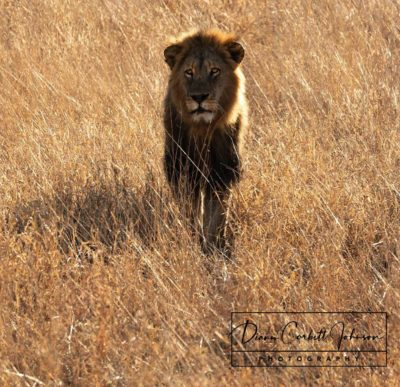 Male Lion Approaches in Kruger National Park, South Africa - by Diann Corbett Johnson