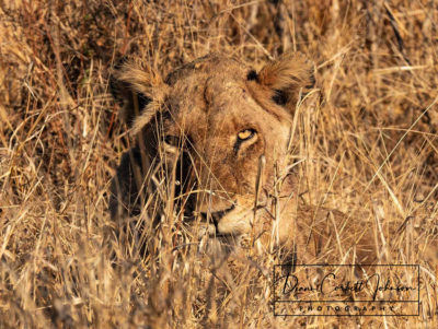 A lioness, perfectly camouflaged in the long grass, Kruger National Park, South Africa - Diann Corbett Johnson