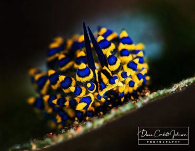 A colorful Nudibranch in Tulamben, Bali, Indonesia - by Diann Corbett Johnson
