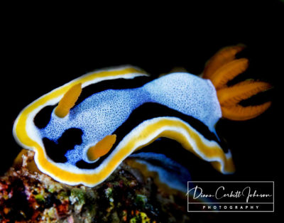 A Nudibranch on a Reef in Raja Ampat, Indonesia - by Diann Corbett Johnson