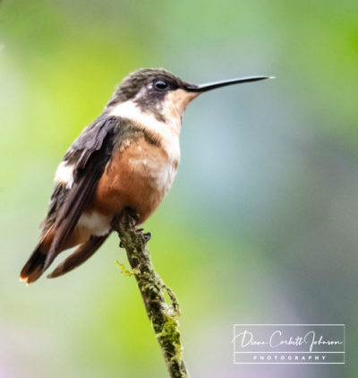 Hummingbird in Mindo Cloud Forest, Ecuador