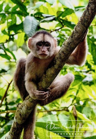 Capuchin Monkey, Amazon Rainforest, Ecuador