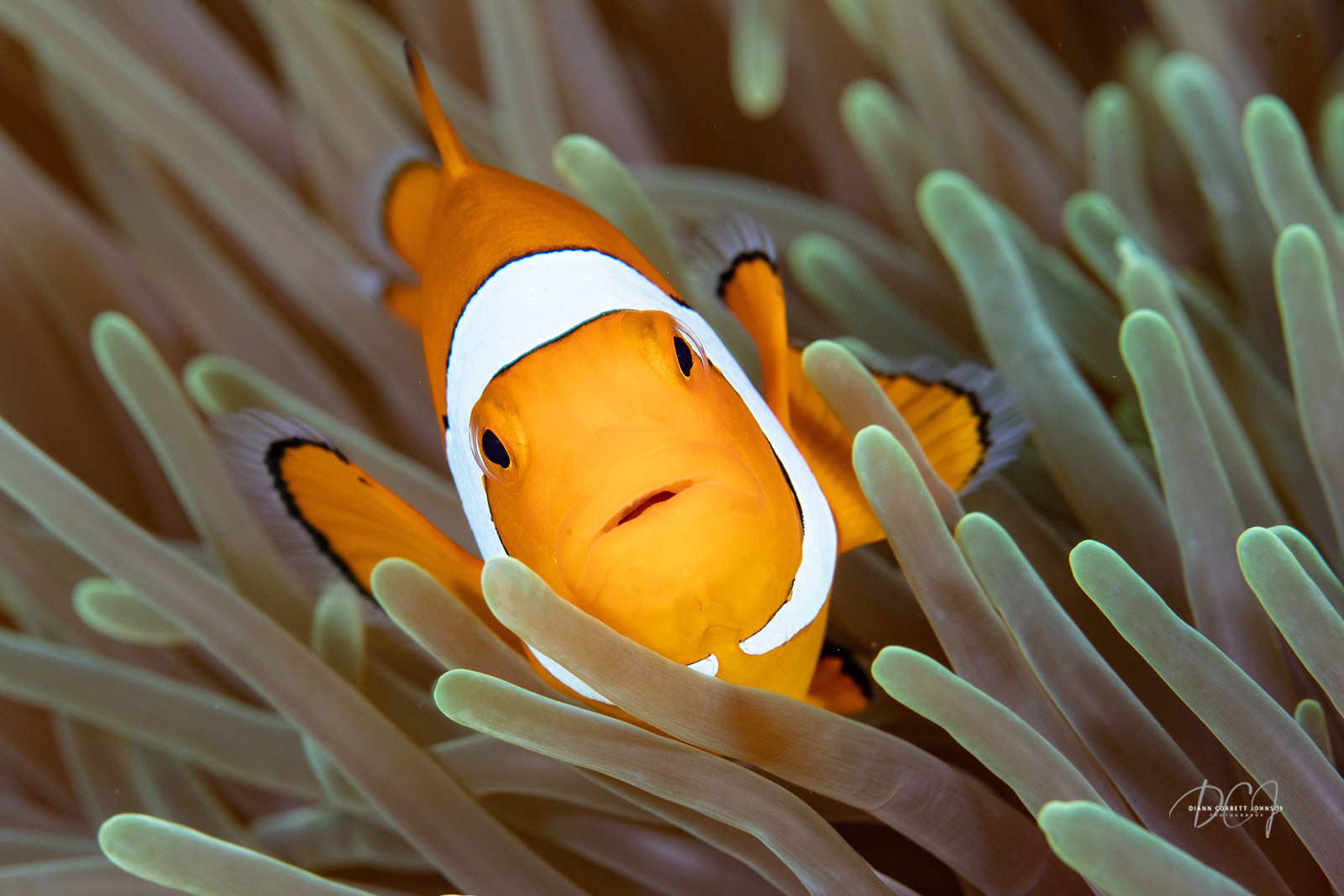 clownfish-diann-johnson