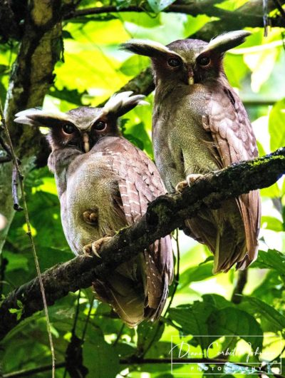 Crested Owls, Amazon Rainforest, Ecuador