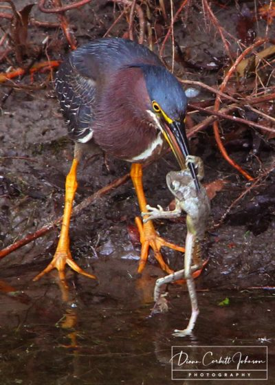 Green Heron Eating Frog, Green Cay Wetlands, Florida