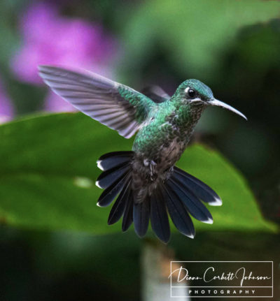 Hummingbird, Mindo Cloud Forest, Ecuador