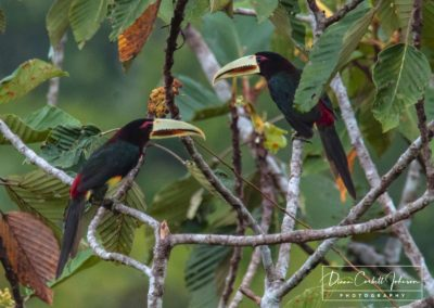 Toucans, Amazon Rain Forest, Ecuador