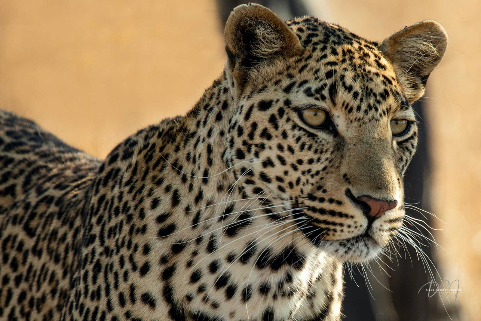leopard-africa-home-diann-johnson