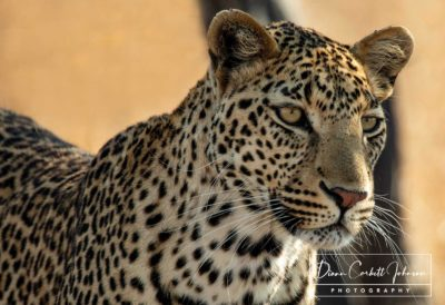 Wildlife: Leopard in Kruger National Park, South Africa