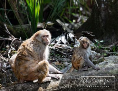 Florida Macaques, Silver Springs State Park