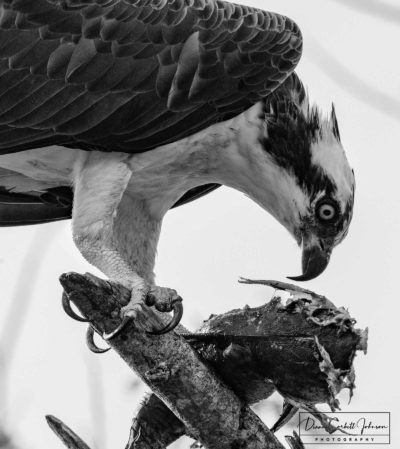 Osprey Eating Fish, Florida