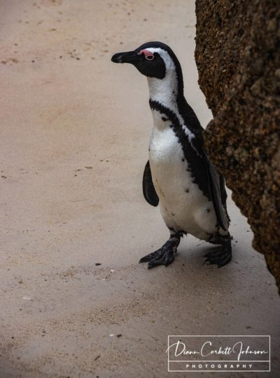 African Pengion, Coulder's Beach, South Africa