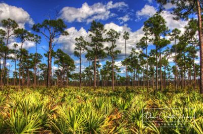 Pine Forest in Florida