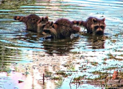 Three Juvenile Raccoons, Florida
