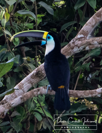 Toucan, Amazon Rainforest, Ecuador