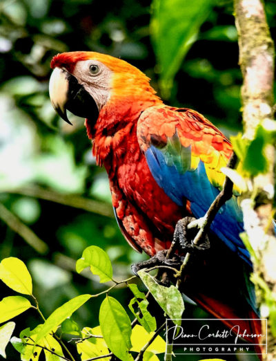 Wild McCaw, Amazon Rainforest, Ecuador
