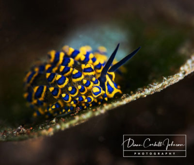 A colorful nudibranch in Tulamben, Indonesia - by Diann Corbett Johnson